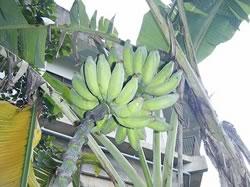 沖縄バナナ